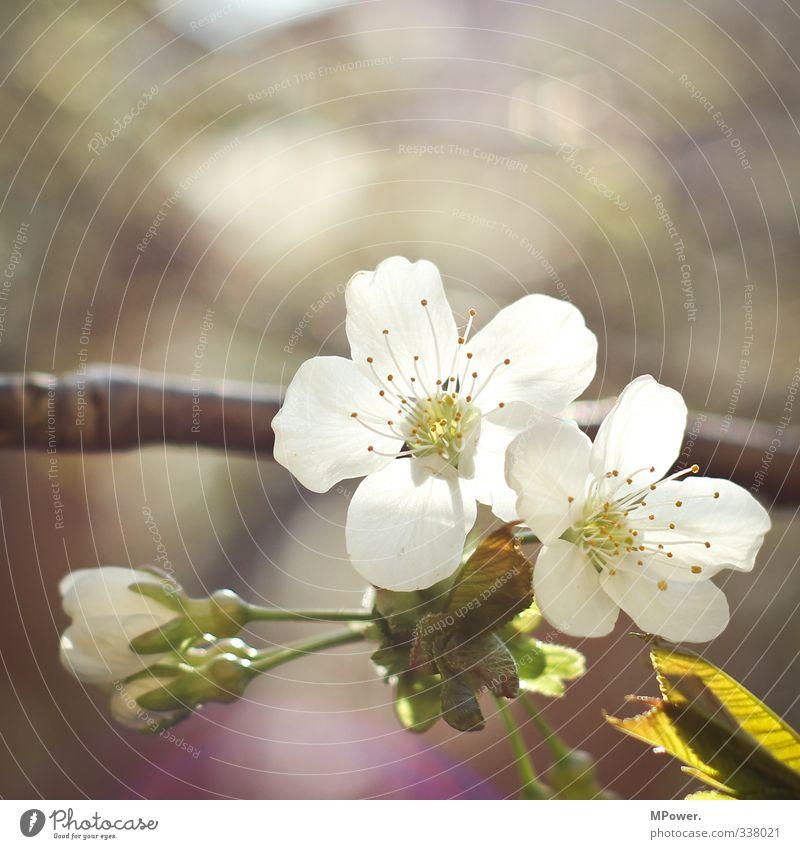 sakura Tier Pflanze Blatt Blüte Nutzpflanze Duft klein grün weiß Kirschblüten Kirschbaum Frühling Blühend Ast Pollen Blütenblatt Farbfoto Außenaufnahme