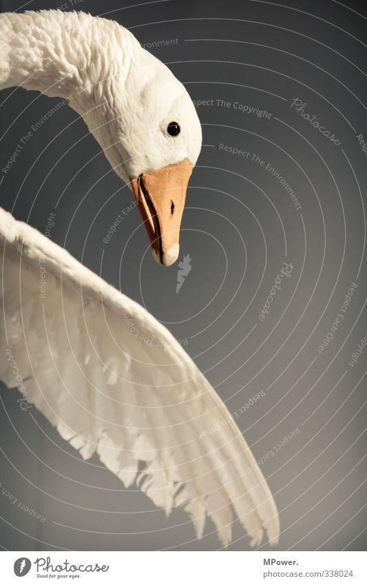 federvieh Tier Wildtier Vogel Schwan Fliege 1 fallen fliegen Feder Schnabel Landen Ente Farbfoto Innenaufnahme Nahaufnahme Menschenleer Textfreiraum rechts
