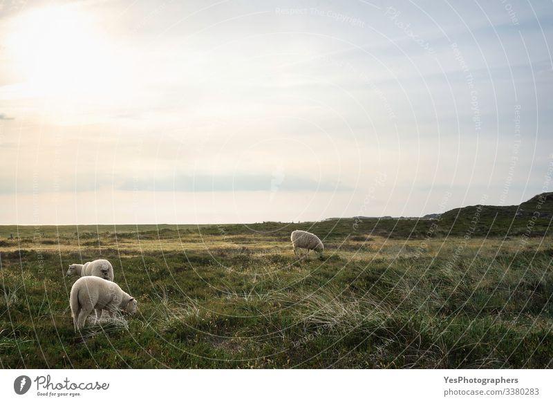 Weiße Friesenschafe weiden auf einer Wiese auf der Insel Sylt Sommer Natur Schönes Wetter Gras Moos Küste Nordsee Nutztier 3 Tier Fressen stehen