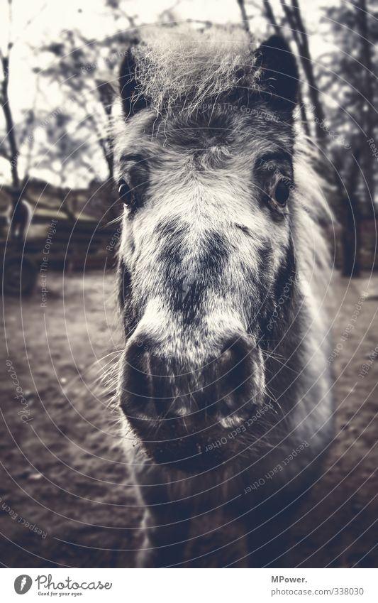 jonny Tier Nutztier 1 alt trist Stadt grau Pferd Pferdekopf Mähne Nüstern Weide Fell Ponys Gedeckte Farben Außenaufnahme Nahaufnahme Menschenleer