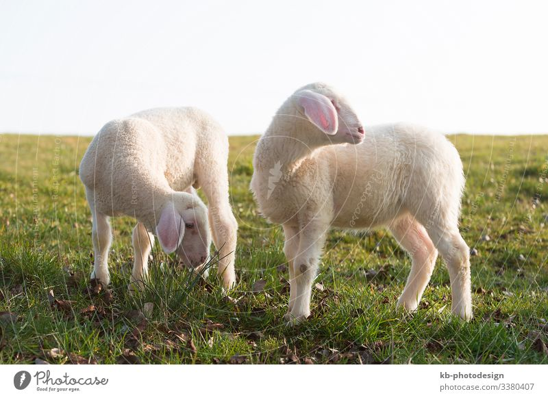 Two young lambs on a meadow Natur Tier Nutztier Lamm Schaf Fressen Sheep lamps animals Wool Easter Easter Lamb Meadow Rasieren natural mammal Animal sun
