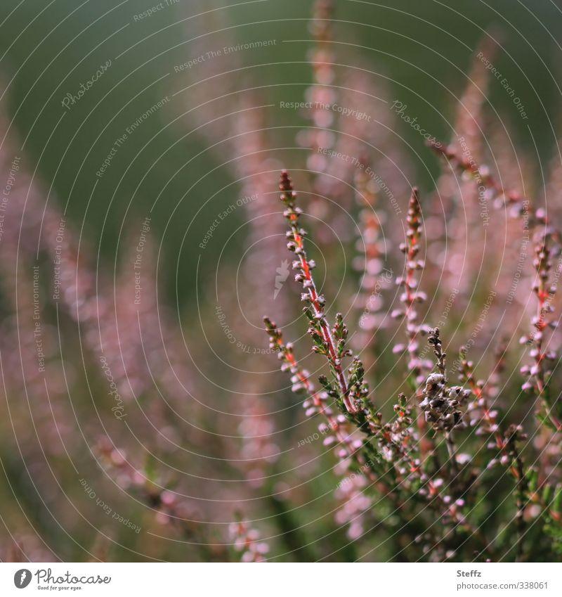 Heidestimmung heimisch romantisch nordische Romantik heimische Pflanzen heimische Wildpflanze Bergheide blühende Wildpflanzen Sträucher Calluna