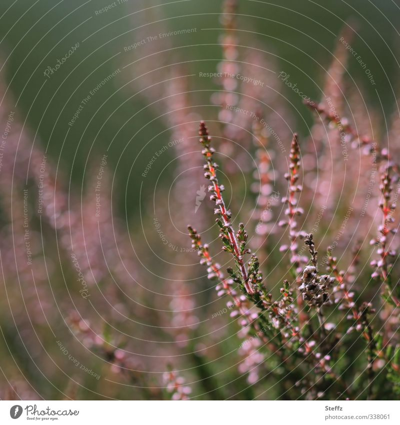 Heidestimmung Natur Pflanze schön Sommer Umwelt Herbst natürlich rosa Sträucher Blühend Romantik violett Herbstbeginn Wildpflanze Heide heimisch