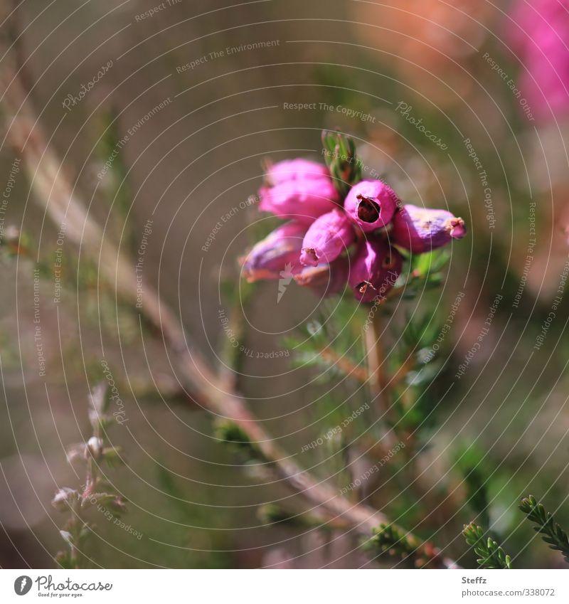 Heidefarben im September Heideblüte blühende Heide heimisch nordisch nordische Wildpflanzen Besenheide Calluna Calluna vulgaris Heidestimmung