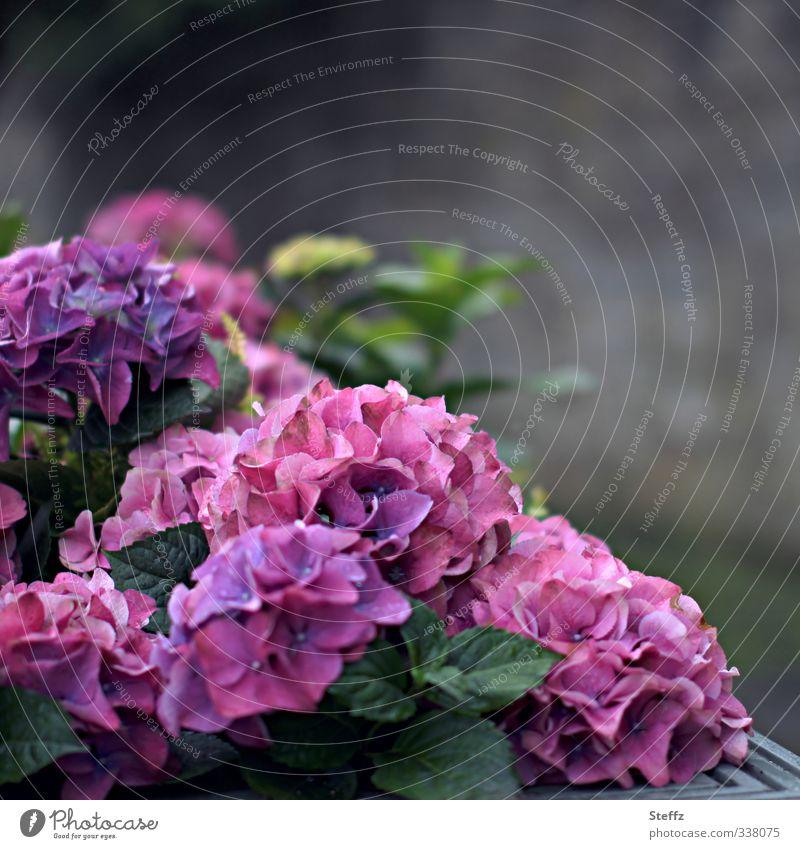 Blumenecke Natur Pflanze Sommer Blüte Hortensie Hortensienblüte Hortensienblätter Gartenpflanzen Zierpflanze Blütenpflanze Hydrangea Blühend natürlich violett
