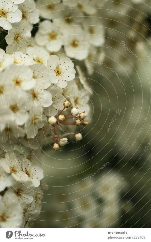 Frühling gabs auch.... Umwelt Natur Pflanze Blatt Blüte Grünpflanze Wildpflanze Sträucher Duft dünn authentisch frisch klein natürlich weiß Farbfoto
