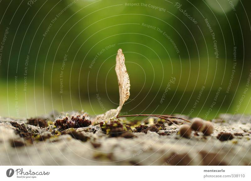 im grünen Umwelt Natur Pflanze Frühling Blatt Grünpflanze Wildpflanze alt dünn authentisch einfach frisch klein nah natürlich trist trocken weich braun Farbfoto