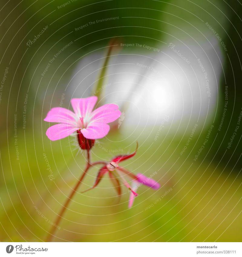 Frisch Umwelt Natur Pflanze Frühling Blume Blatt Blüte Grünpflanze Wildpflanze dünn authentisch einfach frisch klein weich grün rosa Farbfoto mehrfarbig