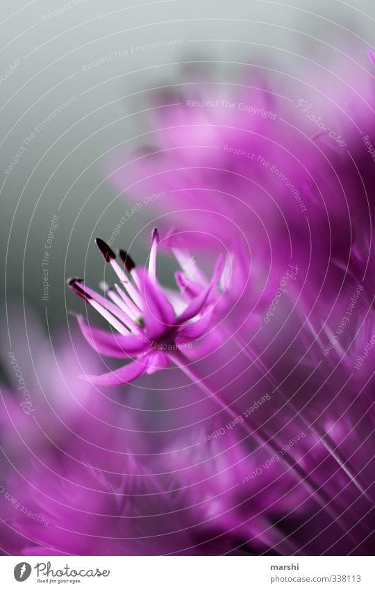 Zierlauch Natur Pflanze Blume Blüte Wildpflanze violett Schwache Tiefenschärfe Garten zierlauch Blütenstempel Farbfoto Außenaufnahme Nahaufnahme Detailaufnahme