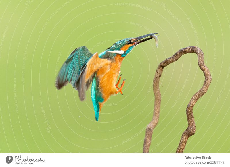 Bunter Eisvogel mit langem schwarzen Schnabel Alcedo atthis Bernat pescaire Vögel Cacere Extremadura Fauna Eisvögel Malpartida de Cáceres Natur Spanien Tierwelt