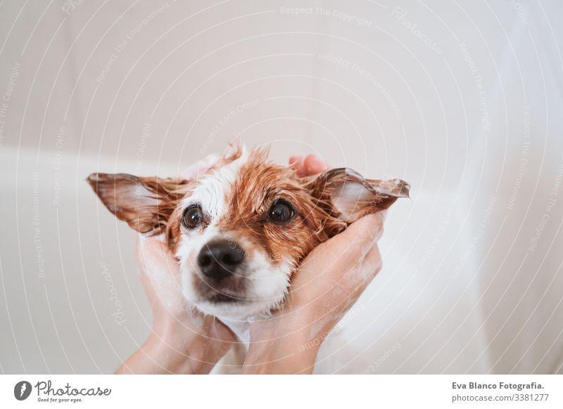 süßer reizender kleiner Hund, nass in der Badewanne, sauberer Hund. Frau, die ihren Hund wäscht. Haustiere im Haus jack russell Dusche Sauberkeit niedlich