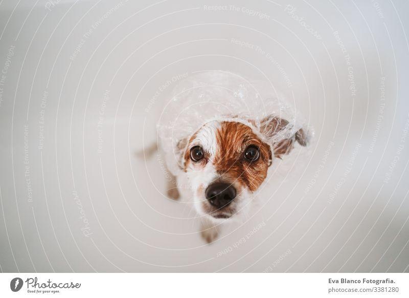 süßer reizender kleiner Hund, nass in der Badewanne, sauberer Hund mit lustiger Duschhaube auf dem Kopf. Haustiere im Haus Duschbecher jack russell Dusche