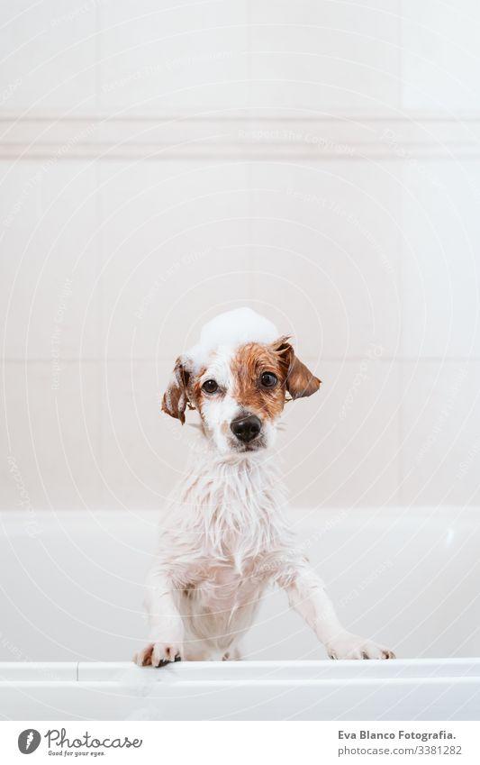 süßer reizender kleiner Hund, nass in der Badewanne, sauberer Hund mit lustiger Schaumseife auf dem Kopf. Haustiere im Haus jack russell Dusche Sauberkeit