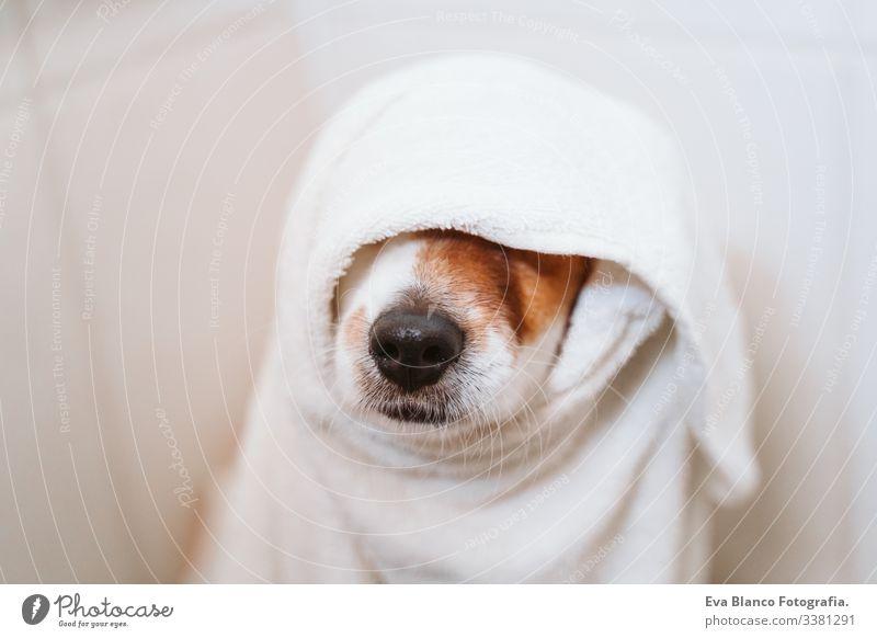 junge Frau, die ihren süßen kleinen Jack-Russell-Hund mit Handtuch zu Hause trocknet trocknen jack russell Bad Dusche Sauberkeit niedlich heimwärts