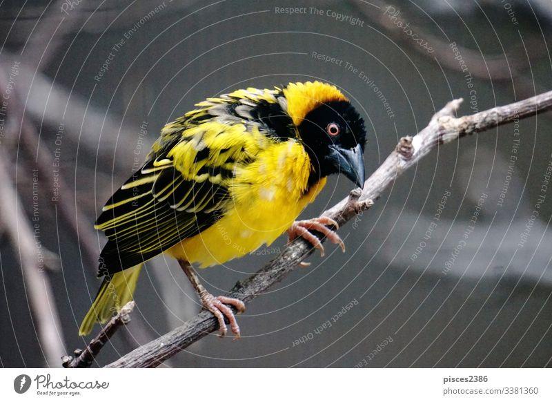 Dorfweberin auf dem Ast sitzend überblicken Natur gelb Tier cucullatus wild Tierwelt Vogel Fauna Lebensraum schwarz eine männlich Single Afrika bunt Zoo