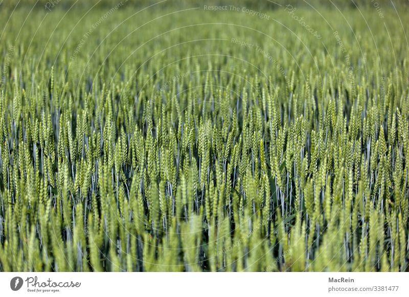 Umwelt Natur Landschaft Pflanze Sommer Grünpflanze Feld grün Getreidefeld Landwirtschaft Kornfeld Roggen Weizen Gerste Ackerbau Farbfoto Außenaufnahme