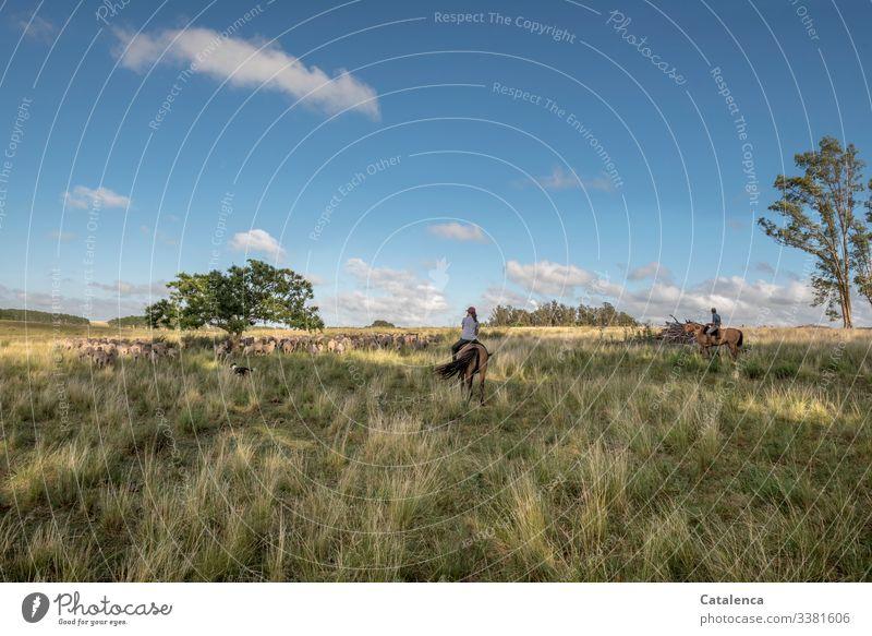 Zwei Reiter treiben eine Schafherde durch weites Land, hohes Gras, Eukalytusbäume, blauer Himmel sind zu sehen. Zentralperspektive Tierporträt Herde Wiese
