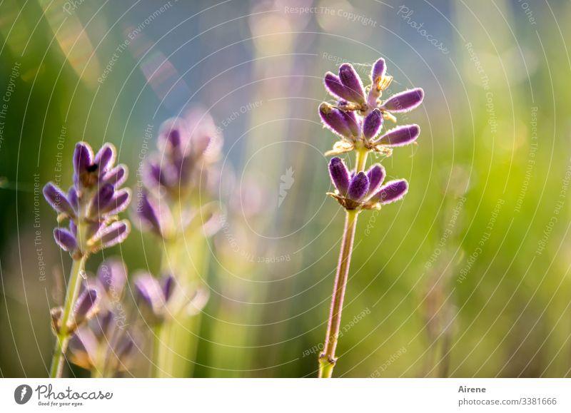 Ich schenke dir Lavendelduft Froschperspektive Schwache Tiefenschärfe Gegenlicht Sonnenstrahlen Sonnenlicht Lichterscheinung Abend Tag Hintergrund neutral