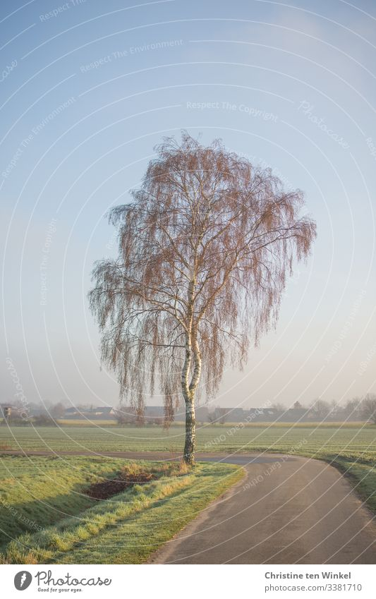 Birke im Sonnenschein Umwelt Natur Landschaft Himmel Sonnenlicht Frühling Winter Schönes Wetter Baum Tauerbirke Feld Wege & Pfade ästhetisch Freundlichkeit