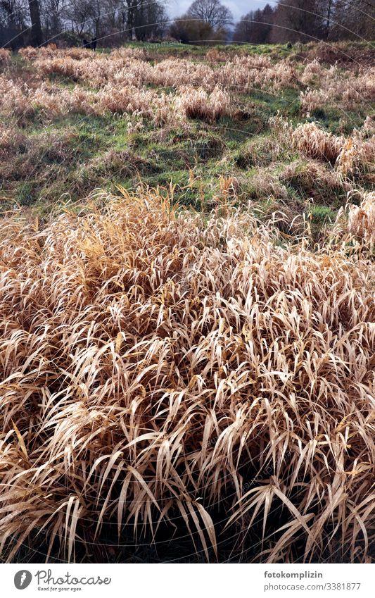 trockene Graswiese Grasland Trockenzeit Wiese Frühjahr Naturschutzgebiet Schilfgras