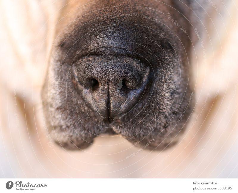 Schnauze Tier Haustier Hund Tiergesicht 1 braun schwarz Akzeptanz Nasenloch Haare & Frisuren Fell nass Tierliebe feucht transpirieren Falte gehorsam atmen