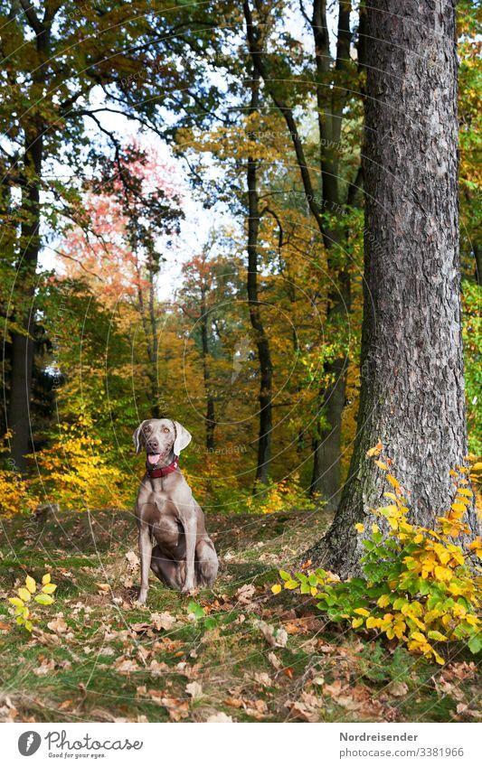 Weimaraner Jagdhund im bunten Herbstwald jagd weimaraner jagdhund hundezucht tier herbst park jung vorsteherhund therapiehund lichtung waldlichtung waldwiese