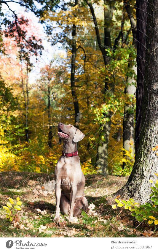 Weimaraner Jagdhund im Herbstwald rasse outdoor natur landschaft tierportrait abruf baum sonnenschein freiheit ländlich edel freund loyalität spaß freude