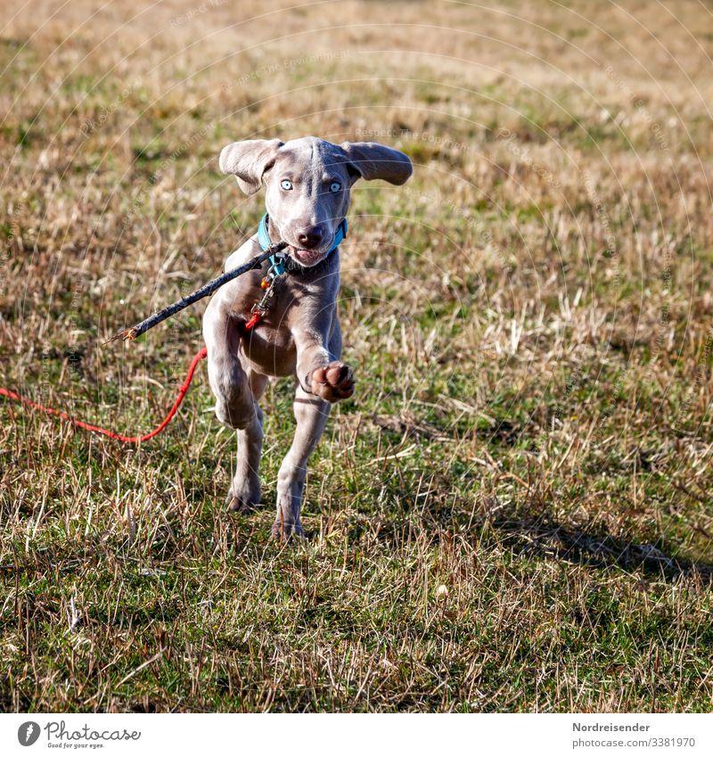 Jagdhund Ben Freizeit & Hobby Spielen Natur Erde Schönes Wetter Gras Wiese Tier Haustier Hund Fitness laufen rennen springen Fröhlichkeit schön klein Neugier