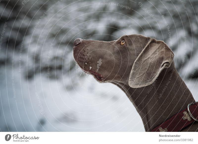 Seelenhund Tia Weimaraner Jagdhund jagd weimaraner jagdhund hundezucht tier freund bester freund hundeblick unwiderstehlich winter winterwald schnee treue park
