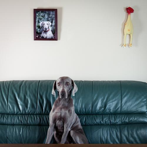 Weimaraner Jagdhund in einer skurrilen Pose auf einer Couch Vorderansicht Tierporträt Kontrast Textfreiraum oben Sessel Neugier Stolz Tierliebe Freundlichkeit