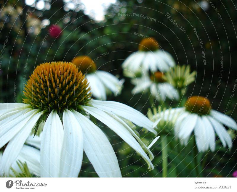 Blumfeld Natur Blume Pflanze Wiese Tiefenschärfe