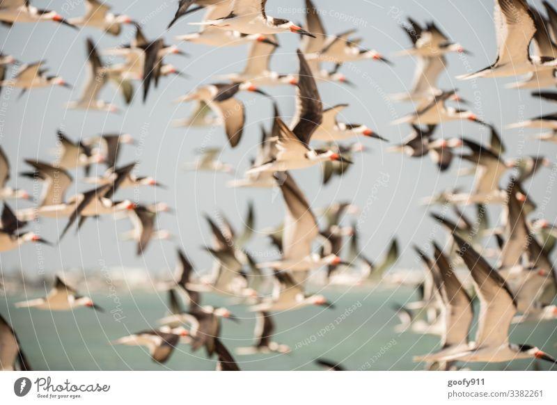 Seeschwalbenschwarm fliegen Schwarmvogel Vögel Meer Himmel Flügel weiß Freiheit Tier Florida Keys Natur Wildtier Küste Außenaufnahme Farbfoto Umwelt Tierporträt