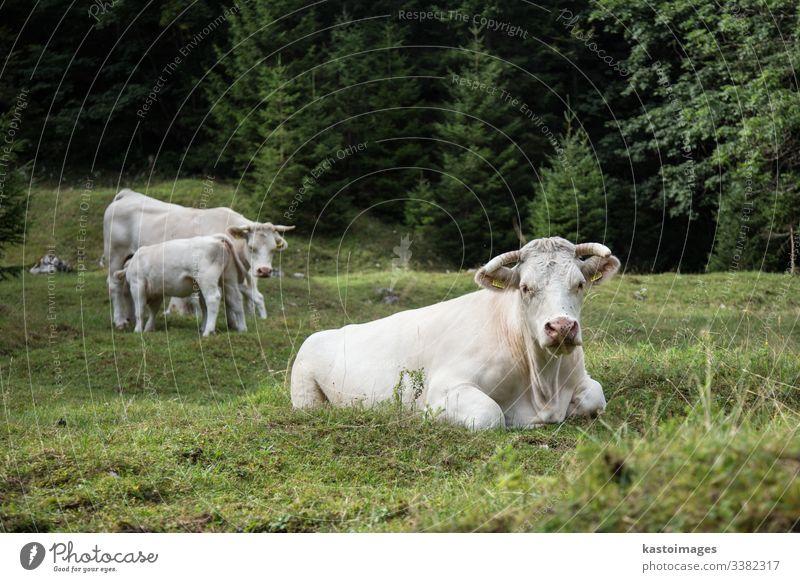 Kühe weiden auf einer Alm, Slowenien. Rind Kuh Viehbestand Gras Bauernhof Alpen Natur Wiese Berge u. Gebirge im Freien Himmel Sommer Weide Molkerei grün Ansicht