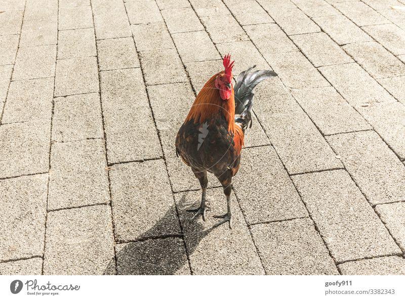 Geräusch/ Kikeriki Hahn Bunt Vogel Federn Tier Außenaufnahme Flügel Natur Tierwelt Farbfoto schön wild Rot Schwarz farbenfroh