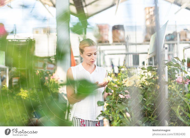 Schöne Kundin, die blühende gelbe Topfrosen im Gewächshaus hält und duftet. Blume kaufen grün Rosen Werkstatt Business Garten Glück Gärtner Gartenbau Laden