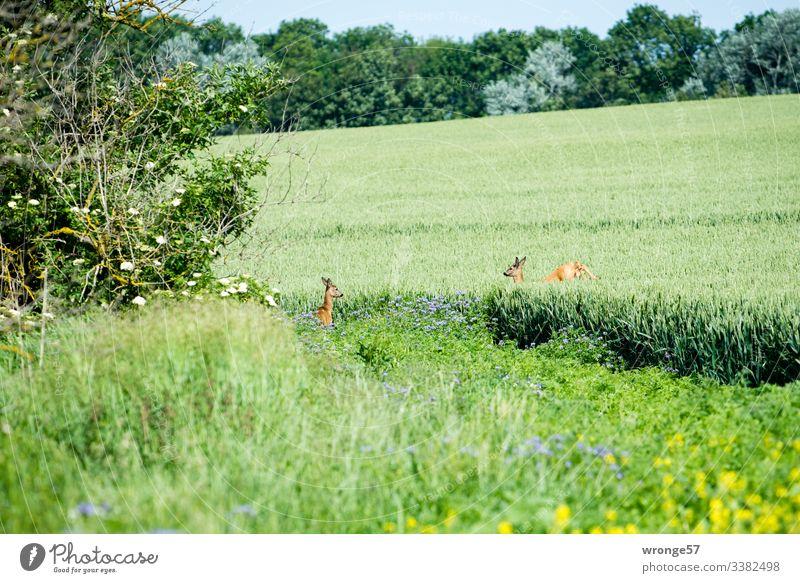 2 Rehe im Feld Natur Kornfeld Sommer Landschaft Außenaufnahme Tag Menschenleer Getreidefeld Farbfoto grün Stehen springen flüchten Umwelt Textfreiraum unten