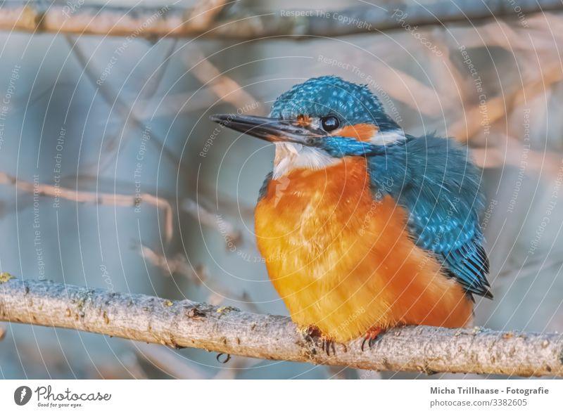 Eisvogel im Sonnenlicht Blick nach vorn Blick in die Kamera Halbprofil Profil Ganzkörperaufnahme Tierporträt Porträt Gegenlicht Sonnenstrahlen Kontrast Schatten