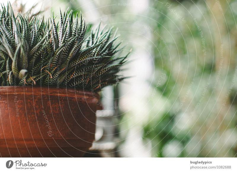 Aloe Vera in Tontopf auf Fensterbank Zimmerpflanze Topfpflanze begrünung Bokeh Grünpflanze Innenaufnahme Dekoration & Verzierung Tag Wohnung Pflanze Blumentopf