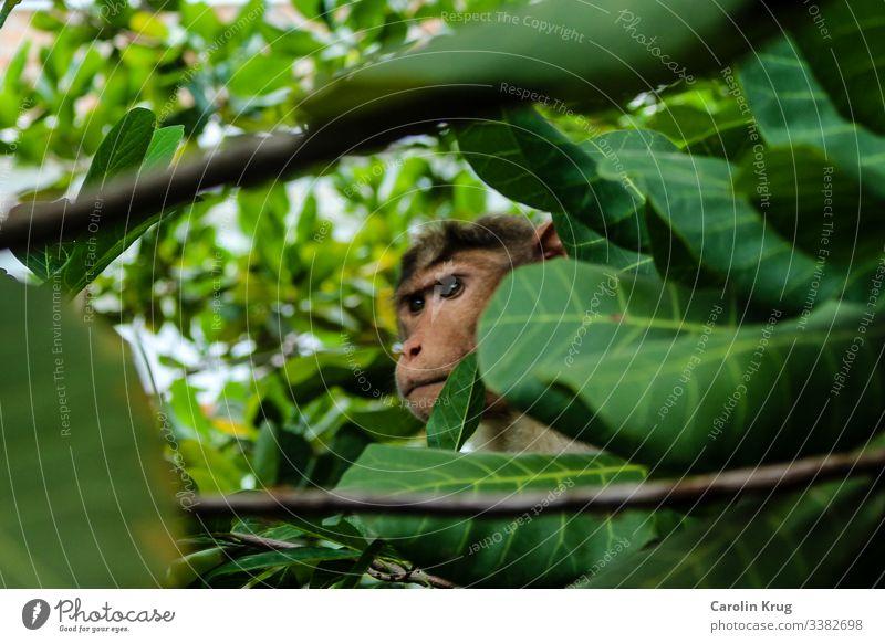 Beobachtender Affe mit starrem Blick Versteck verstecken Beobachtung beobachten Augen grün Duschungle Neugier geheimnisvoll Indien Überraschung Äste Natur