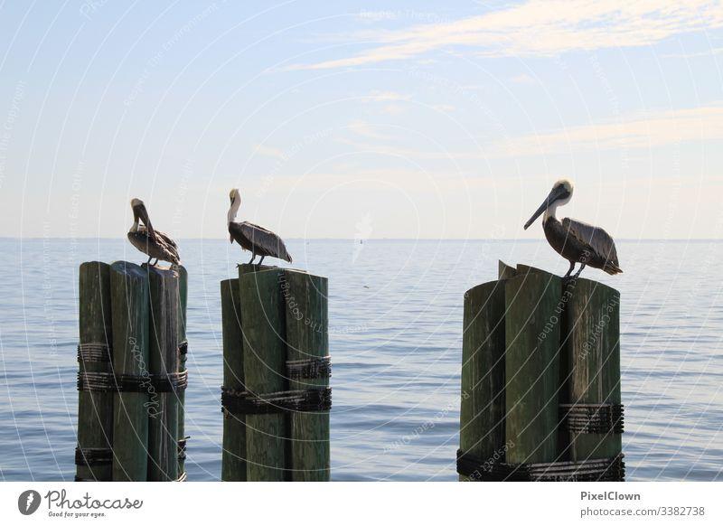 Pelikane am Pier irgendwo in Florida Tier Schnabel Meer Wildtier Vogel Hafen Meeresvogel Tierporträt Ozean Urlaub Außenaufnahme
