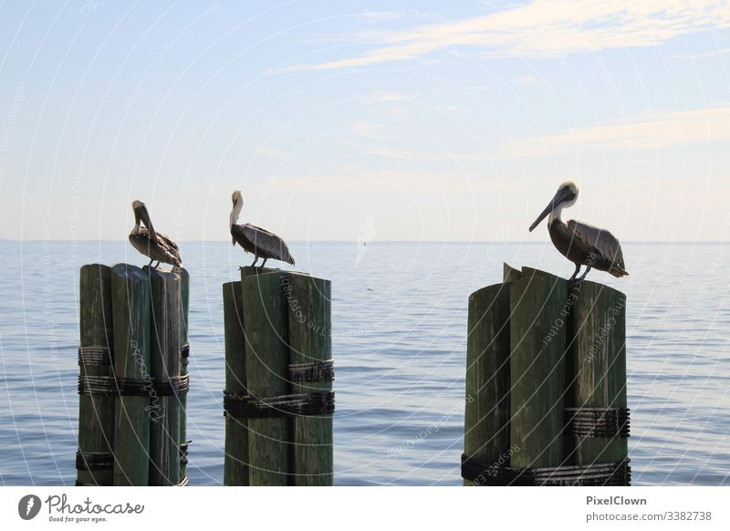 Pelikane am Pier Tier Schnabel Meer Wildtier Vogel Hafen Meeresvogel Tierporträt Ozean Urlaub Außenaufnahme Florida