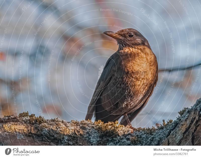 Amselweibchen im Sonnenschein Vogel Blick nach vorn Blick in die Kamera Halbprofil Vorderansicht Ganzkörperaufnahme Tierporträt Porträt Sonnenstrahlen Tag Licht