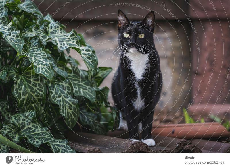 Schönste Tuxedo-Katze der Welt, im Garten auf alten Dachziegeln stehend Fell Pflanze Natur Außenaufnahme außergewöhnlich schön Katzengesicht Tierporträt