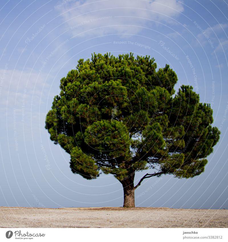 Ein Baum auf Kreta Kalabrische Kiefer Nadelbaum Baumkrone einzeln allein mediterran Mittelmeer grün Nadeln prächtig groß ausgewachsen rund