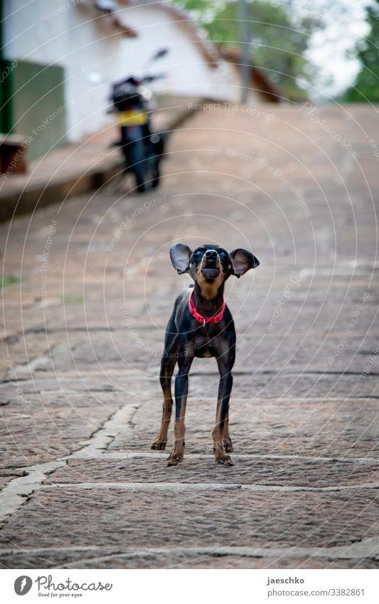 Kleiner Hund mit Halsband kläfft auf Straße klein kläffen bellen aggressiv Großmaul Haustier Tierporträt bossy große Klappe Revier Schnauze Blick Hundehalsband
