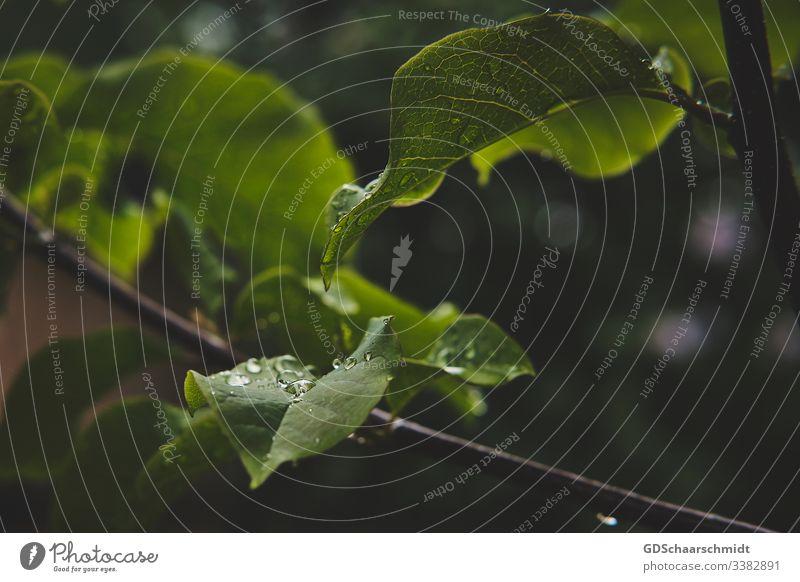 Magnolienblätter mit Wassertropfen Low Key Licht Tag Außenaufnahme Farbfoto schön Pflanze Natur Garten Textfreiraum rechts Textfreiraum links Menschenleer grün