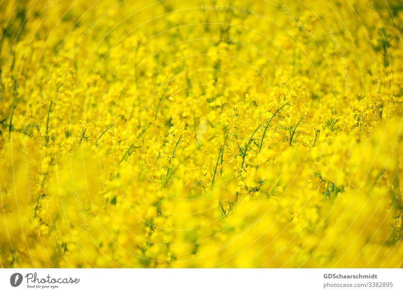 Rapsblüten raps öl rapsblüte landwirt landwirtschaft rapsfeld gelb frühling sommer mai natur farbfoto ernte rapsöl nahrung blume samen rapssamen