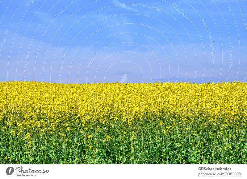 Rapsfeld raps öl rapsblüte landwirt landwirtschaft rapsfeld gelb frühling sommer mai natur farbfoto ernte rapsöl nahrung blüten blume samen rapssamen himmel