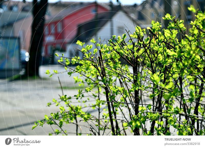 Kleiner Strauch mit frischen grünen Blättern leuchtet im Sonnenlicht an einer Vorstadt-Straße mit Häusern im Hintergrund Frühling Straßenrand Sonnenschein