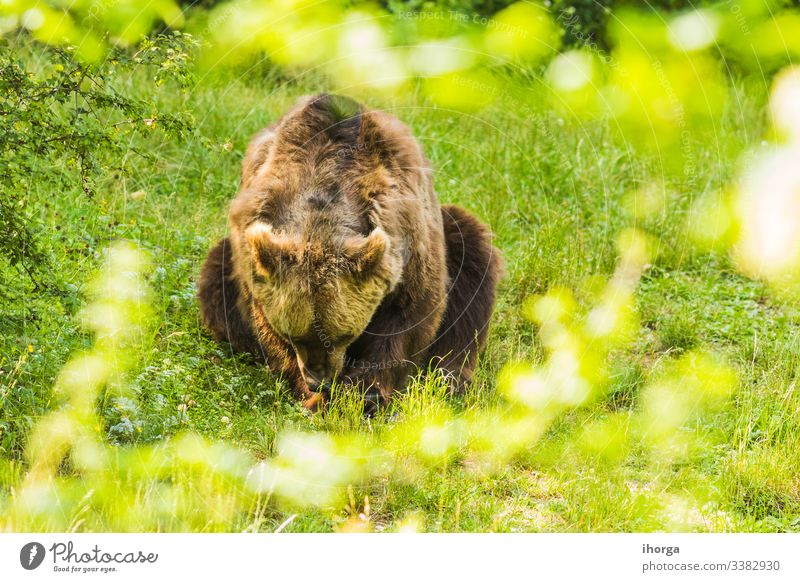 Braunbär durchquert einen grünen Wald Gefahr Erwachsener Tier Tiere arctos Hintergrund Bär schön Schönheit groß braun Fleischfresser Nahaufnahme Farbe Erhaltung
